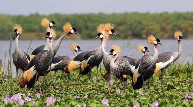 Image result for crested crane images